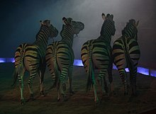 Quattro zebre che si esibiscono in un circo