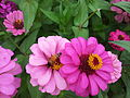 Zinnia from Lalbagh Flowershow - August 2012 101449.jpg