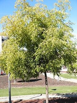 Ziziphus jujuba Habitus 2010-10-26 ArboretoParqueElPilarCiudadReal.jpg