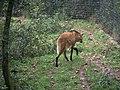 Zoo de Lunaret - Loup à crinière - P1600213.jpg