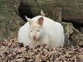 Zoo des 3 vallées - Wallaby de Bennett - 2015-01-02 - i3385.jpg