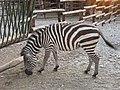 Zoovrt jagodina zebra.jpg