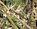 'B' type pale lilac teneral female Ischnura graellsii (39877866412).jpg