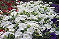 'Easy Wave White' petunia.jpg