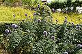 'Echinops ritro' Old Palace Garden Hatfield House Hertfordshire England.jpg