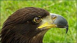 'Vogel-Haliaeetus albicilla-Zeearend-01.jpg