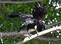 (1)Crow in tree.jpg