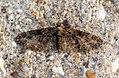 (1852) Brindled Pug (Eupithecia abbreviata) (7033416315).jpg