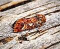 (2179) Pine Beauty (Panolis flammea) (33767850265).jpg