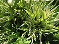 (Agave) genus cactus buds at Tenneti Park 05.JPG