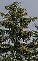 Águila calva (Haliaeetus leucocephalus), Parque Estatal de Recreo del Lago Chilkoot, Haines, Alaska, Estados Unidos, 2017-08-26, DD 13.jpg