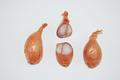 Échalote rose longue à deux points végétatifs.png