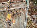 Амурский виноград созрел ф1.JPG