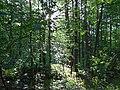 Боромики (заказник), кв. 118–128 Вертіївського лісництва.jpg