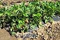 Вирощування полуниці 6.jpg