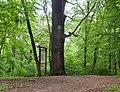 Дуб Петра Могили (Голосієво) на стежці здоров'я.jpg