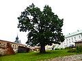 Дуб черешчатый на территории Кирилло-Белозерского монастыря.jpg