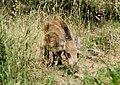 Кабан - Sus scrofa - Wild boar - Дива свиня - Wildschwein (35787084472).jpg