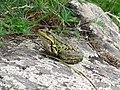 Лозуватські виходи мігматиту, жаба озерна.JPG