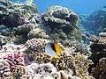 Нитеперая рыба-бабочка, Chaetodon auriga..DSCF0280ВЕ.jpg