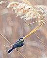 Обыкновенная лазоревка - Cyanistes caeruleus - Eurasian blue tit - Син синигер - Blaumeise (32251319134).jpg