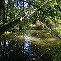 Річка Лісна, притока Кам`янки.jpg