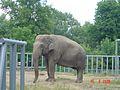 Слон у київському зоопарку.jpg