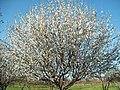 Цветушая крона сорта яблони Кзыл алма №5.jpg