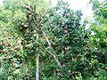 Ябълки - panoramio (2).jpg