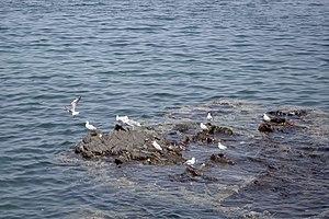 رفتار مرغان دریایی نوروزی یا یاعو در کشور عمان، شهر مسقط، ساحل دریای عمان - عکس مصطفی معراجی 02.jpg
