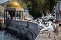 رفتار مرغان دریایی نوروزی یا یاعو در کشور عمان، شهر مسقط، ساحل دریای عمان - عکس مصطفی معراجی 16.jpg