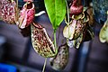 หม้อข้าวหม้อแกงลิง tropical pitcher plants Genus Nepenthes Photographed by Trisorn Triboon 07.jpg