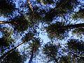 ტყის ღაღი.jpg