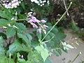 ヌスビトハギ(盗人萩)(Desmodium podocarpum subsp. oxyphyllum)-花 (8192901404).jpg