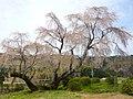 下市町新住・丸尾地区のしだれ桜 Weeping cherry tree in Atarasumi 2010.4.04 - panoramio.jpg