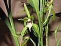 兔耳蘭 Cymbidium lancifolium -香港沙田洋蘭展 Shatin Orchid Show, Hong Kong- (9219875659).jpg