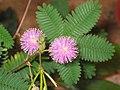含羞草 Mimosa pudica -香港公園 Hong Kong Park- (9198133883).jpg