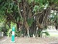 嘉陽のガジュマルの木.jpg