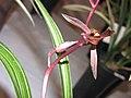 報歲養老寶 Cymbidium sinense -香港沙田國蘭展 Shatin Orchid Show, Hong Kong- (12284830426).jpg