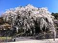 大原のしだれ桜(昼間).jpg