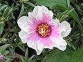 太陽花(松葉牡丹) Portulaca grandiflora -香港嘉道理農場 Kadoorie Farm, Hong Kong- (9255175966).jpg
