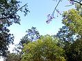 樹 - panoramio (1).jpg