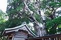 潮崎本之宮神社のビャクシン(柏槙)の木 東牟婁郡串本町にて Chinese juniper tree in Shiozaki-motonomiya-jinja 2014.8.20 - panoramio.jpg