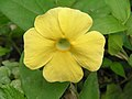 白眼花 Thunbergia gregorii -香港仔郊野公園 Aberdeen Country Park, Hong Kong- (9216099298).jpg