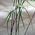 白鷺莞 Dichromena colorata -香港北區花鳥蟲魚展 North District Flower Show, Hong Kong- (9237373811).jpg