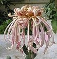菊花-桃花帶 Chrysanthemum morifolium 'Peach-Flower Ribbon' -香港圓玄學院 Hong Kong Yuen Yuen Institute- (11980402374).jpg