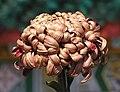 菊花-疊球型 Chrysanthemum morifolium Ball-ribbon-series -香港圓玄學院 Hong Kong Yuen Yuen Institute- (9204846783).jpg