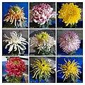 菊花 Chrysanthemum morifolium Cultivars 7 -上海松江方塔園 Song Jiang, Shanghai- (12010297854).jpg