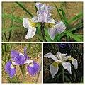 西伯利亞鳶尾 Iris sibirica cultivars -瀋陽植物園 Shenyang Botanical Garden, China- (9198165941).jpg