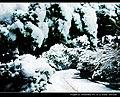 雪松2 - panoramio.jpg